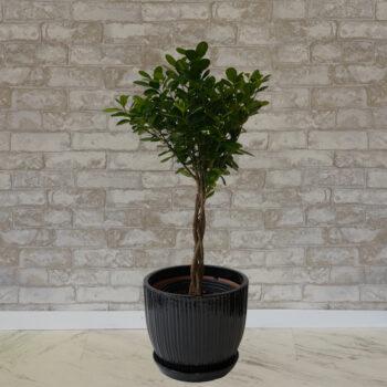 Ficus Daniella, 14 inch