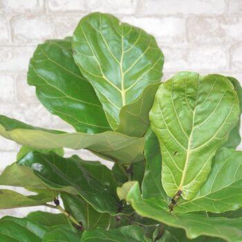 Ficus Lyrata Fiddle Leaf Fig Bush