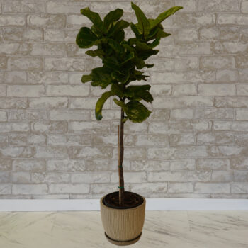 Ficus Lyrata Fiddle Leaf Fig Tree