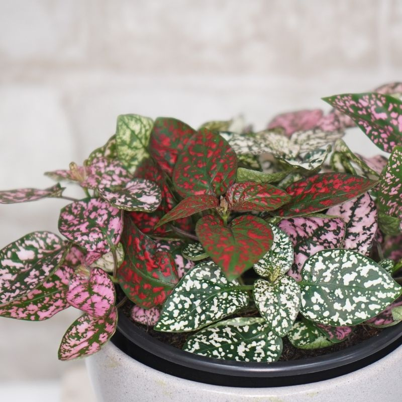 Polka Dot Plant, 4 inch