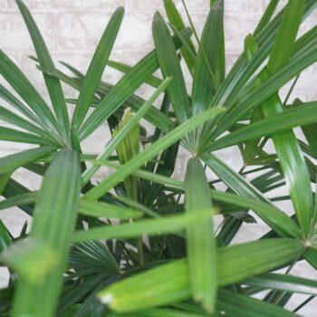 Rhapis Palm, 10 inch