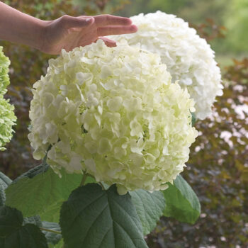 Proven Winners Hydrangea Incrediball
