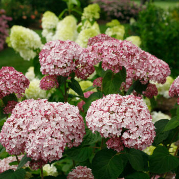 Proven Winners Hydrangea Incrediball Blush