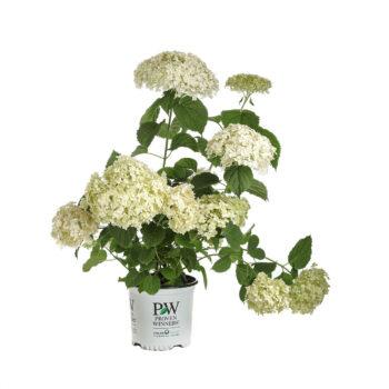 Proven Winners Hydrangea Invincibelle Wee White