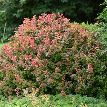 Admiration Japanese Barberry