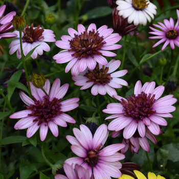 4D™ Berry White African Daisy