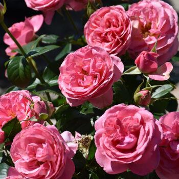 All Dressed Up™ Rose