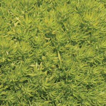 Proven Winners Proven Accents Lemon Coral Sedum