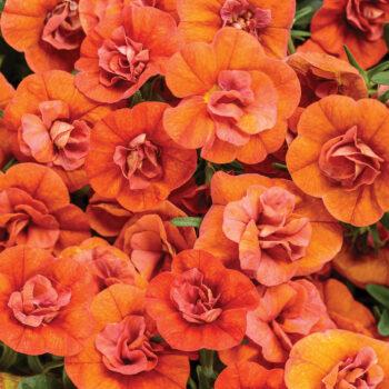 Proven Winners Superbells Double Orange Calibrachoa