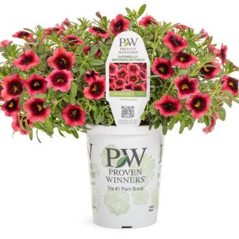 Proven Winners Superbells Watermelon Punch Calibrachoa