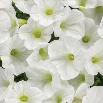 Proven Winners Supertunia Mini Vista White Petunia