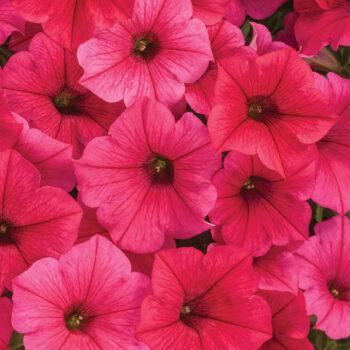 Proven Winners Supertunia Vista Paradise  Petunia