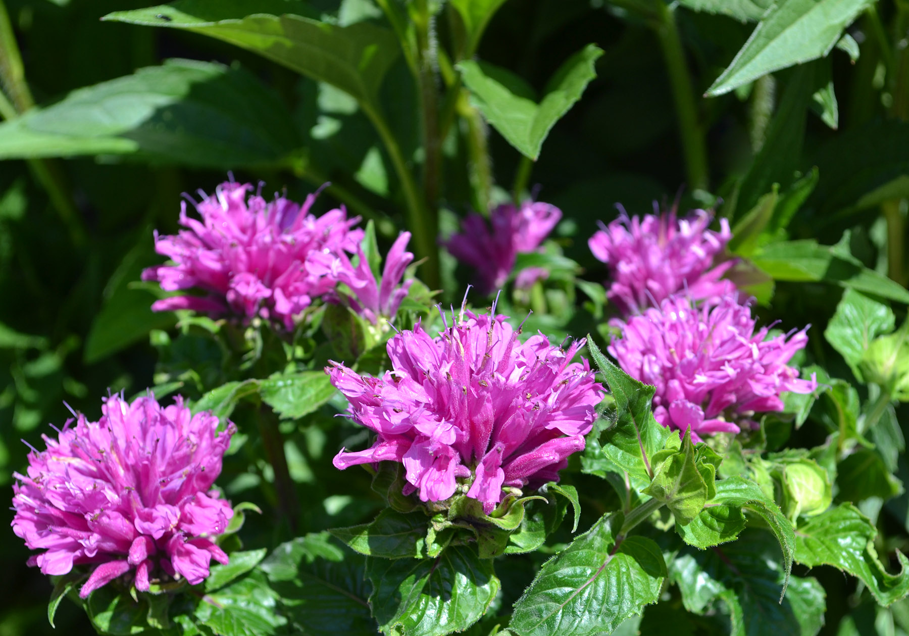 Top 10 Summer Blooming Perennials English Gardens,One Story House Paint Exterior House Colors 2020 Sherwin Williams